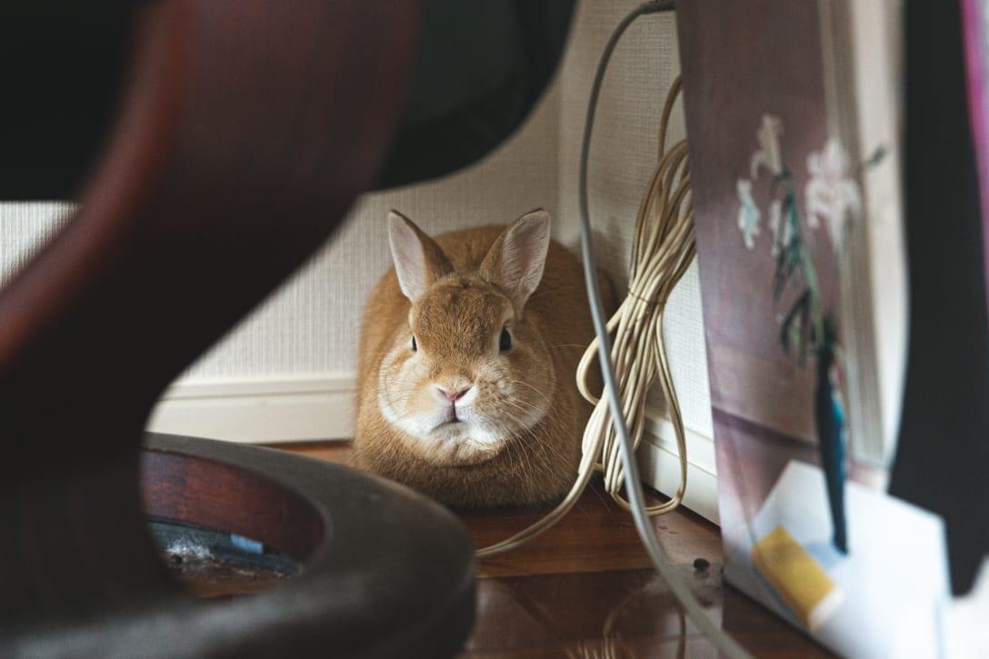 部屋の隅に隠れていたウサギのフクちゃん。 Image by FASHIONSNAP